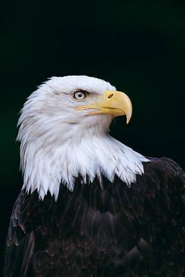 Photograph - Bald Eagle by John Hyde - Printscapes