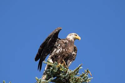 Photograph - Bald  Eagle Juvenile Ready To Fly by Margarethe Binkley
