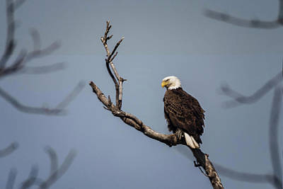 Photograph - Bald Eagle by Linda Shannon Morgan