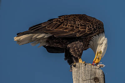 Photograph - Bald Eagle Lunch by Yeates Photography