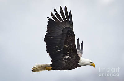 Photograph - Bald Eagle by Ricky L Jones