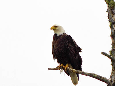 Photograph - Bald Eagle  by Trace Kittrell