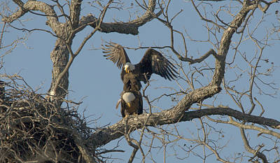 Bald Eagles Mating Art Print