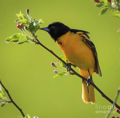 Photograph - Baltimore Oriole by Ricky L Jones