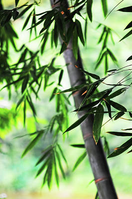 Bamboo Leaves Photograph - Bamboo Leaves by Jenny Rainbow