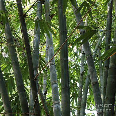 Photograph - Bamboo Square by Carol Groenen