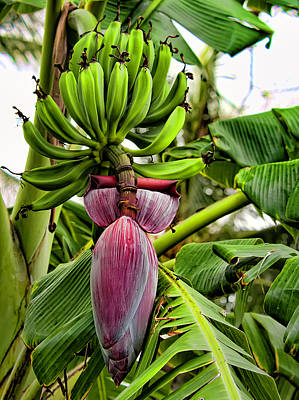 Photograph - Banana Flower by Dan McManus
