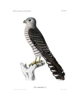 Drawing - Banded Kestrel by J D L Franz Wagner