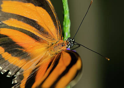 Photograph - Banded Orange Butterfly by JT Lewis