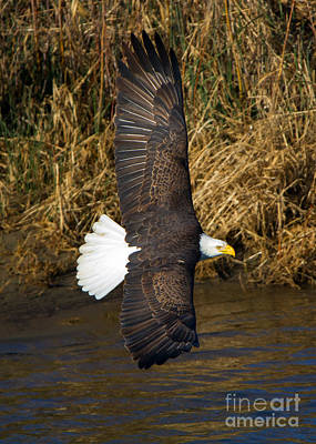 Eagle Photograph - Banking Low by Mike Dawson