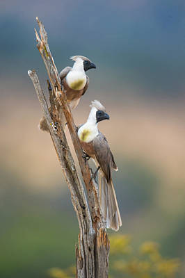 Go Away Photograph - Bare-faced Go-away-birds Corythaixoides by Panoramic Images