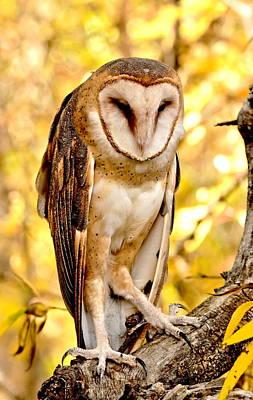 Photograph - Barn Owl by Amy McDaniel