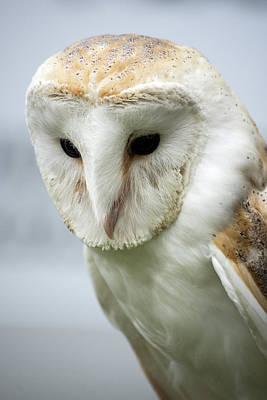 Photograph - Barn Owl by Cliff Norton