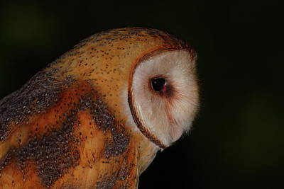 Barn Owl Profile Art Print