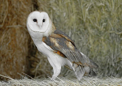 Photograph - Barn Owl On Hay by Steve McKinzie