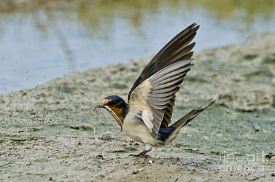 Barn Swallow Art Print by Anthony Mercieca
