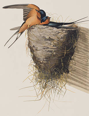Swallow Painting - Barn Swallow by John James Audubon