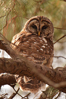 Photograph - Barred Owl by Alan Lenk