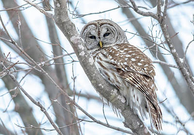 Photograph - Barred Owl Beauty by Cheryl Baxter