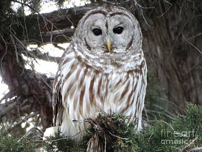 Photograph - Barred Owl Beauty by Rebecca Overton