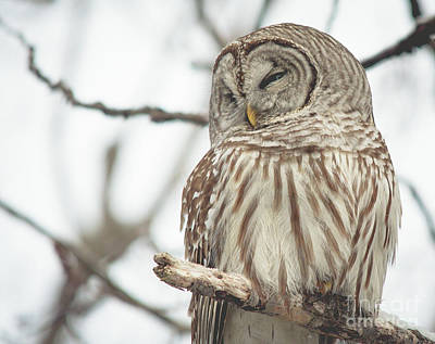 Photograph - Barred Owl by Cheryl Baxter