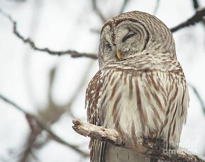 Photograph - Barred Owl by Cheryl Baxter