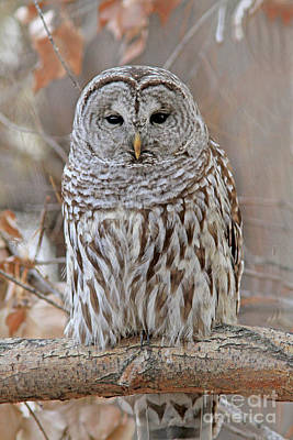 Grey Photograph - Barred Owl by Gary Wing