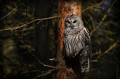Art Print featuring the photograph Barred Owl In Pine Tree by Michael Cummings