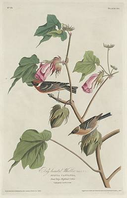 Wings Drawing - Bay-breasted Warbler by Dreyer Wildlife Print Collections