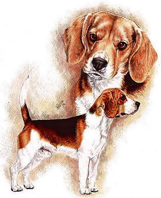 Drawing - Beagle by Barbara Keith