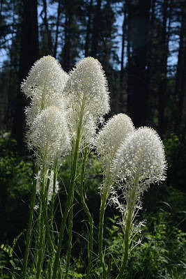 Photograph - Bear Grass by Whispering Peaks Photography