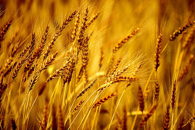 Cereal Photograph - Bearded Barley by Todd Klassy