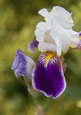 Yellow Bearded Iris Photograph - Bearded Iris by Angie Vogel