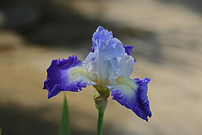 Photograph - Bearded Iris by Ronald Olivier