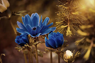 Photograph - Beautiful Anemones by Pezibear