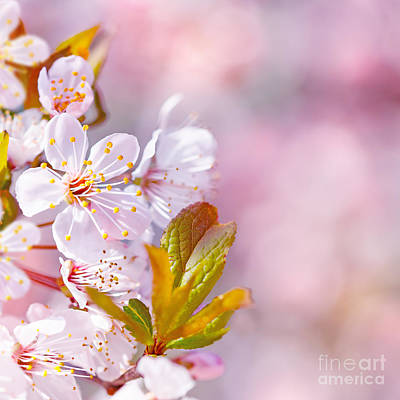 Photograph - Beautiful Apple Tree Blooming by Anna Om