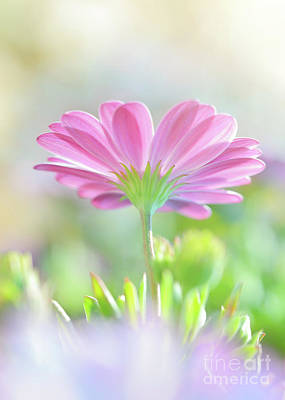 Photograph - Beautiful Daisy Flower by Anna Om