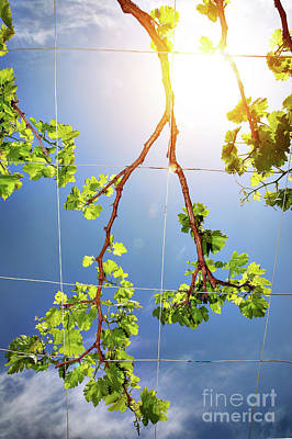 Photograph - Beautiful Fresh Grape Vine by Anna Om