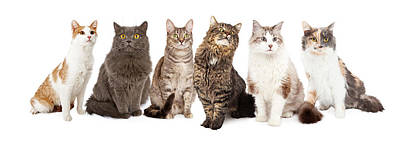 Domestic Short Hair Cat Photograph - Beautiful Grey Domestic Shorthair Cat Laying by Susan Schmitz
