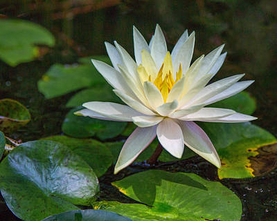 Photograph - Beautiful Lotus by Susi Stroud