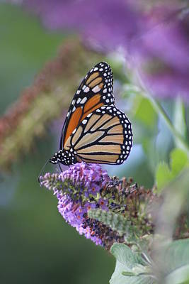 Photograph - Beautiful Monarch by Living Color Photography Lorraine Lynch