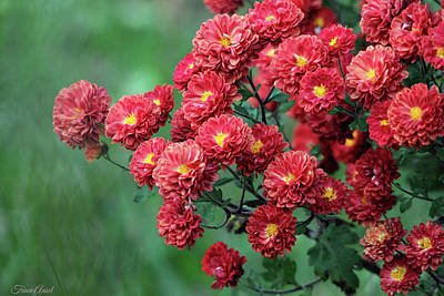 Photograph - Beautiful Red Mums by Trina Ansel