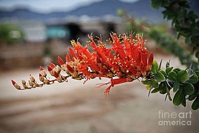 Photograph - Beautiful Ocotillo by Robert Bales
