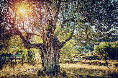 Photograph - Beautiful Olive Tree by Anna Om