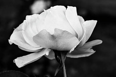 Photograph - Beautiful Rose In Black And White by Vishwanath Bhat