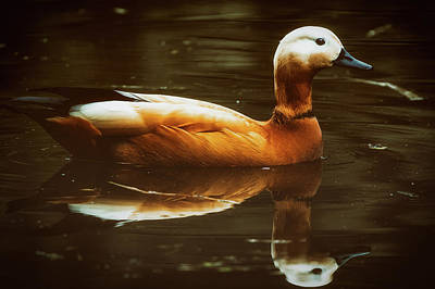Photograph - Beautiful Rust Goose by The 3 Cats