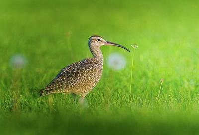 Ornithology Photograph - Beautiful Whimbrel  Shot It From by Hsa Htaw