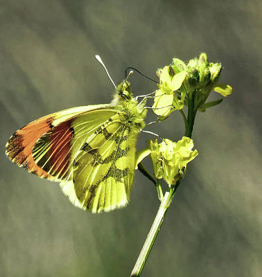 Photograph - Beautiful Yellow Aurora Butterfly by Marc Pascual