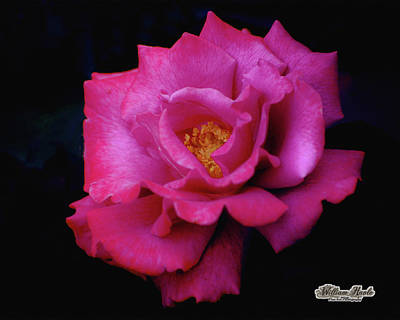 Photograph - Beauty In A Rose by William Havle