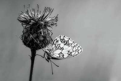 Knapweed Photograph - Beauty On Wings by Pixabay